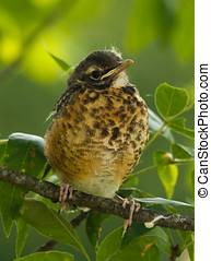 Young Robin - A young Robin sits on a branch waiting for...