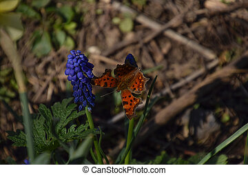 Polygonia c-album on a flower. Butterfly drinking the nectar...