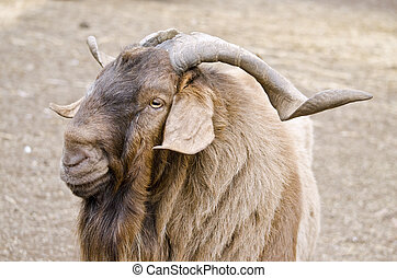 billy goat - this is a close up of a billy goat