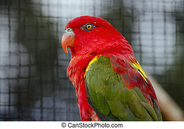 chattering lory - this is a close up of a chattering lory