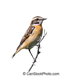 Common Stonechat isolated on white background, Saxicola...