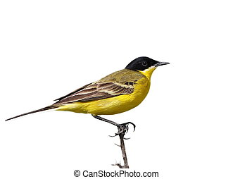 Yellow Wagtail isolated on white background Motacilla flava...