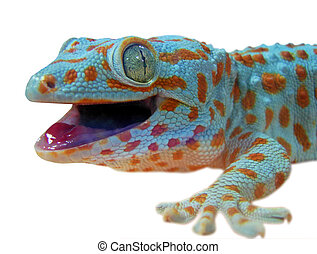 Gecko lizard isolated on white...