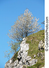 blooming cherry tree on the rock
