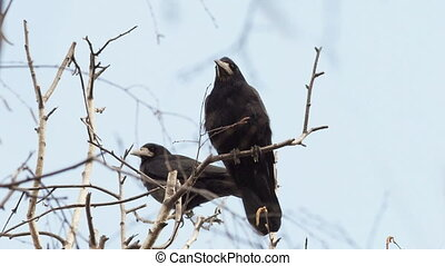 Rooks are sitting on the branches of a tree