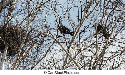 Rookery - rooks build their nests in the spring