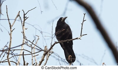 Rook - rook sits on a branch of a tree