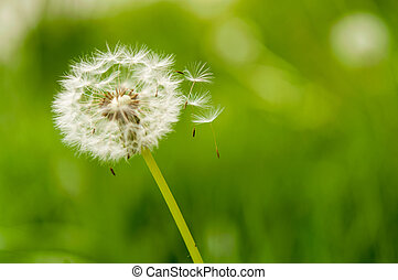 dandelion spores blowing away - Close up of dandelion spores...