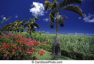 INDIAN OCEAN MAURITIUS SUGAR CANE PLANATION - sugar cane...