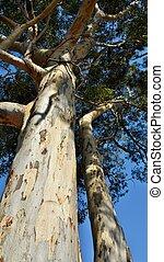 Eucalyptus tree - Close up of Eucalyptus tree stem and bark