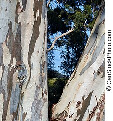 Eucalyptus tree - Close up of Eucalyptus tree stem and bark