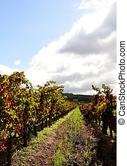 Vineyard in autumn colors - Landscape with Vineyard in...
