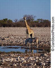 Angolan giraffe and mountain zebra - Angolan giraffe Giraffa...