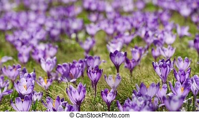 Crocus flowers field