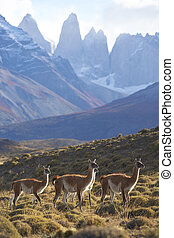 Guanaco in Torres del Paine - Guanaco (Lama guanicoe) on a...