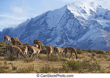 Guanaco in Torres del Paine - Herd of Guanaco (Lama...