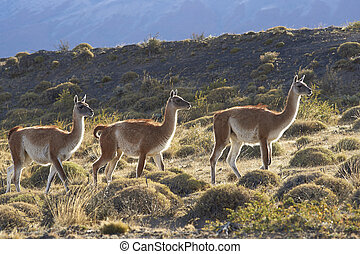 Guanaco in Torres del Paine - Guanaco (Lama guanicoe)...
