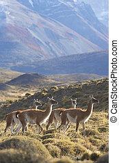 Guanaco in Torres del Paine - Guanaco Lama guanicoe grazing...
