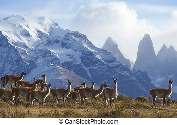 Guanaco in Torres del Paine - Herd of Guanaco Lama guanicoe...