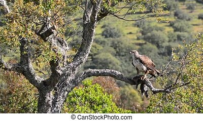 Female Bonellis eagle - Female Bonellis eagle perched on a...