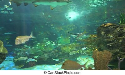 Large sharks in a coral reef - Many Large sharks in a coral...