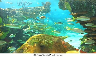 Coral reef with Yellowtailed Snapper swimming