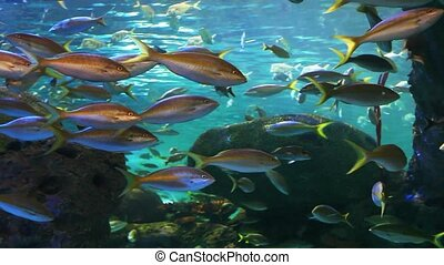 School of Yellow-tailed Snapper move across our view - A...