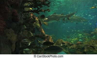 Sharks cruise through schools of tropical fish - Sharks...