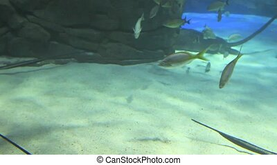 Large group of swimming Manta Rays - A large group of...