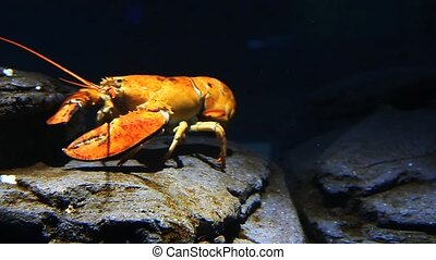 Brright yellow lobster moves underwater in a rocky setting -...