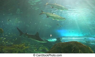 Barracuda swims by a school of tropical fish