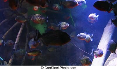 School of Red-bellied Piranha in mangrove roots. - A school...