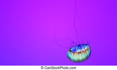 Jellyfish, moves slowly in the water against a simple...