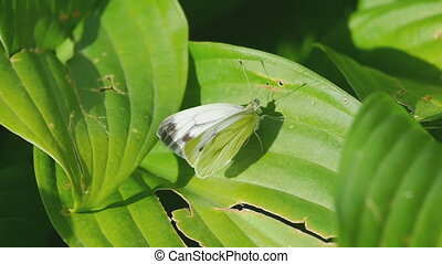 Cabbage butterfly on a green leaf