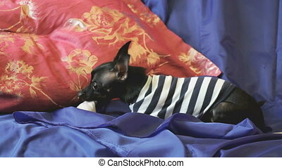 Dog toy-terrier barks and plays with a toy on sofa - Dog...