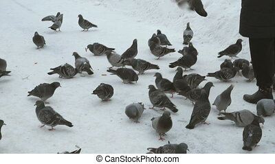 Woman is feeding a flock of pigeons in winter
