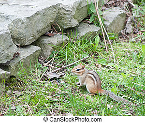 Chipmunk - A Chipmunk perched in the green grass by a stone...