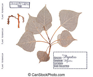 Poplar tree isolated - Herbarium of pressed parts of poplar...