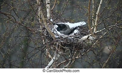 crow in the nest hatches chicks - crow in the nest covered...