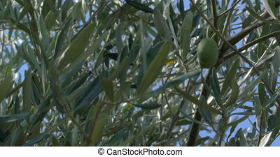 Green Olives Growing on the Tree - Two ripe green olives are...