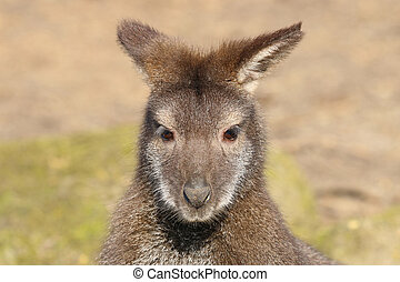 wallaby,  bennets