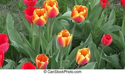Tulip sways in the wind