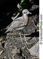 curlew - this curlew is using its camouflage to hide