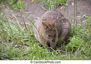 quokka - this is a close up of a quokka