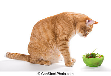 Fat cat and diet - Fat ginger cat eating a salad, isolated...