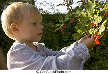 Child three years old) picking redcurrants