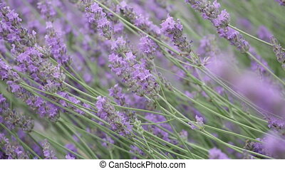 bush of the blossoming lavender close up
