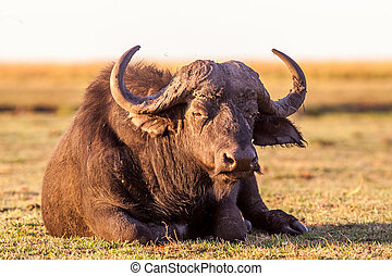 Wild African Cape Buffalo - Colour Image of a wild African...