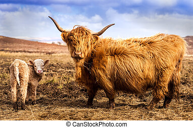 Highland Cow and Calf - Scottich Highland Cow and Calf...