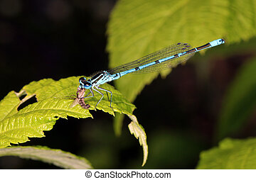 damselfly with prey